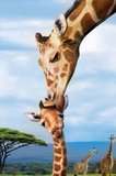 Puzzel - 250 XL stukjes - Giraffe met jong