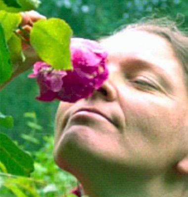 Bekende geur - Engelse Roos