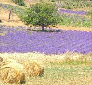 Bekende geur - Lavendelvelden