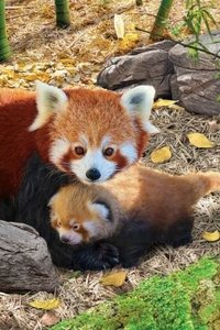 Puzzel - 250 XL stukjes - Rode Panda met jong